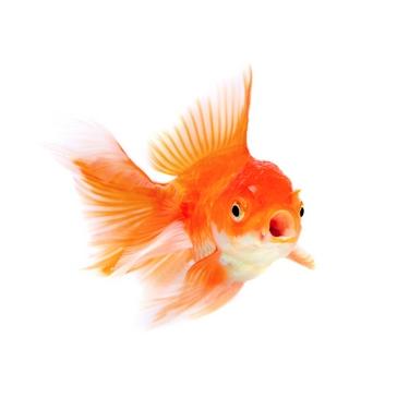 دانلود تصویر باکیفیت ماهی قرمز عید نوروز 🔥