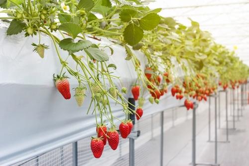 دانلود عکس باکیفیت کاشت توت فرنگی در گلخانه 🔥